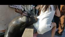 Wait For It: Sea Lion Yanks Girl Into The Water