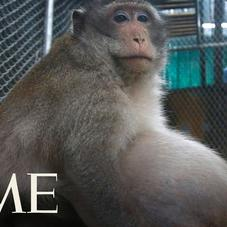 """Meet """"Uncle Fat"""" - The Obese Monkey In Thailand Getting Sent To Fat Camp"""